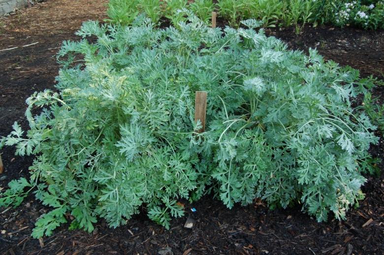 Artemisia-absinthium-3.jpg